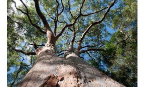 Eucasol, az erdő állandó jelenléte